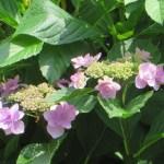ガクアジサイ(薄紫、八重花)