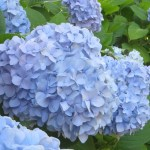 Bigleaf hydrangea/ アジサイ