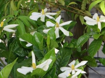 クチナシ 花びらが少し細くなった花