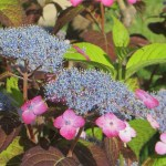 ベニガク(ヤマアジサイ)花の姿