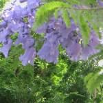 ジャカランダ 花のアップ