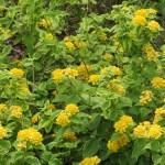キバナランタナ 花の全景