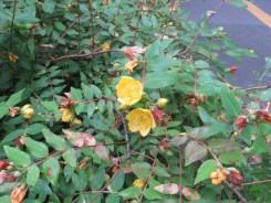 キンシバイ 花の様子(花はあまり開かない)