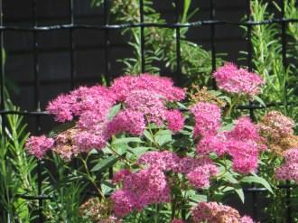 シモツケ(赤色系) 花の様子