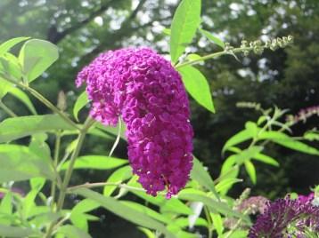 Summer lilac/ フジウツギ