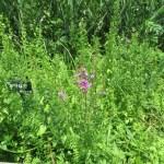 ミソハギの草の姿