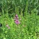 ミソハギ 花の様子
