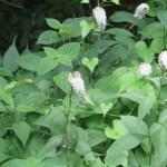オカトラノオ 植物の姿