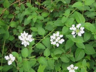 コバノランタナ 白花