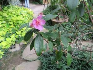 Rose myrtle/ テンニンカ