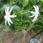 オオシロソケイ 花のアップ