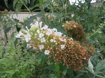 白色のブッドレア(やや花の終わり) フジウツギ