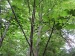 Flat-stalked Spindle Tree/オオツリバナ
