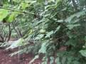 ツリバナ 熟しつつある実の様子