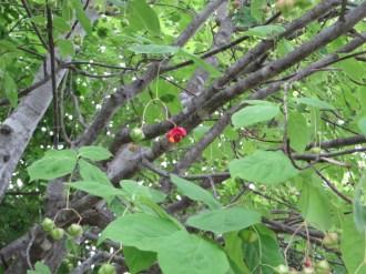 ツリバナ 熟した赤い実