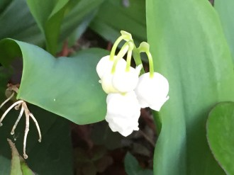 Lily of the Valley/ ドイツスズラン