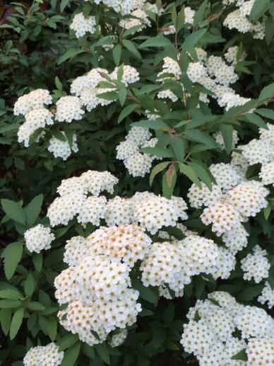 コデマリ 花の様子