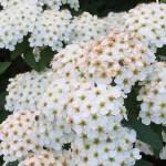 コデマリ 花のアップ