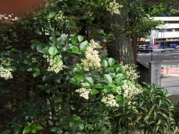 ネズミモチ 花と枝の様子
