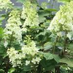 若いカシワバアジサイの花