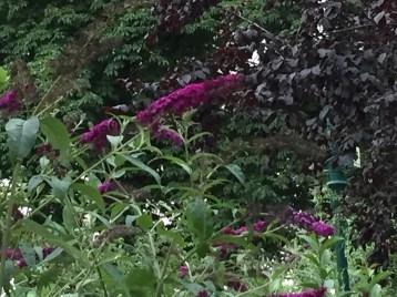 濃い紫のブッドレア フジウツギ