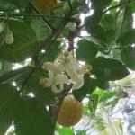 オオミレモン 花と実の様子