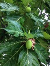 パンノキの若い果実