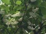 Fragrant Snowbell/ ハクウンボク