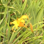 ウィーンのノカンゾウの花