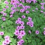 イモカタバミ flower of wood sorrel
