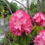 縁取り鮮やかなシャクナゲの花