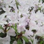 白花のツツジ(ヒラドツツジ?)のアップ