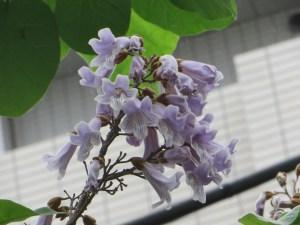 Empress tree/ キリ