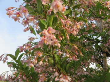 Snowbell (pink flower)/ベニバナエゴノキ