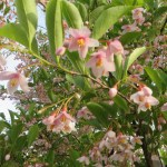ベニバナエゴノキ 花のアップ