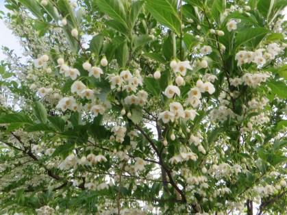 満開のエゴノキの花