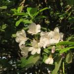 白色のシャクナゲの花