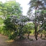 カルミア 木の全景