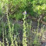 キキョウソウ 草の姿