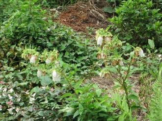 ホタルブクロの花 全景