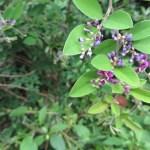 チョウセンキハギ(?)の花と枝の様子