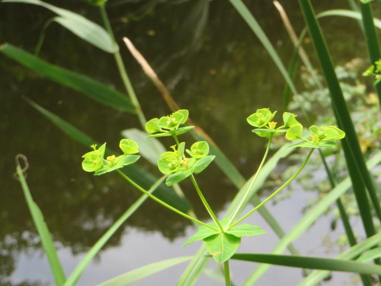 Euphorbia lasiocaula/ タカトウダイ
