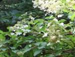 Panicled hydrangea/ノリウツギ (ミナヅキ)