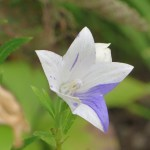 絞り咲キキョウ花のアップ