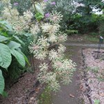 Japanese spikenard/ ウド
