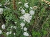 ノラニンジンの花の姿