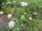 ノラニンジンの植物の様子