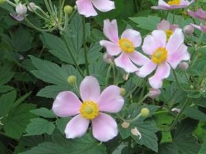 ピンクのシュウメイギクの花の姿