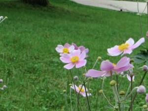 シュウメイギク Flower of Japanese anemone