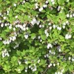 ドウダンツツジ 花と木の様子
